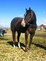 For Sale - Registered Quarter Horse Stallion