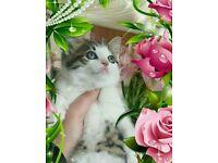 Beautiful bsh x kittens