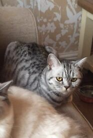 Willow our Beautiful Silver Spotted BSH Cat Missing