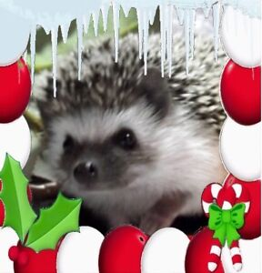 Baby Hedgehogs (adults...starting at $50.00)