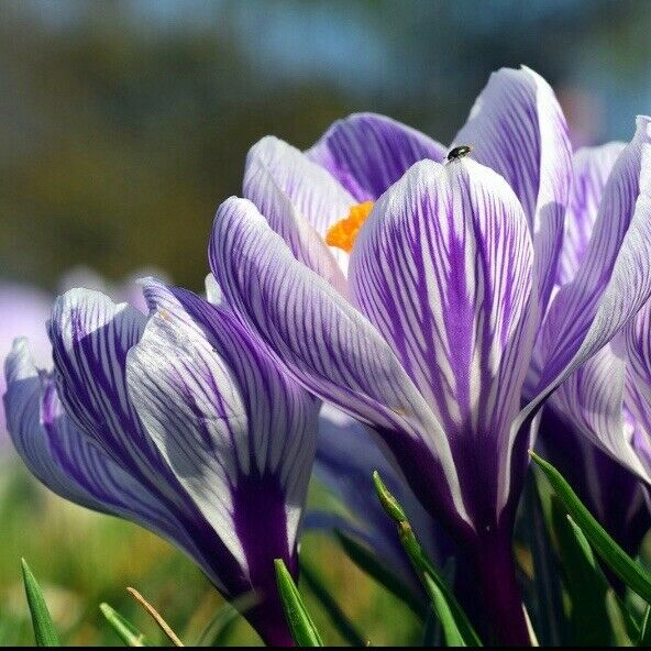 Large Flowering 50 x Blue Crocus Bulbs White-Purple-Striped-Yellow-Blue Mixed Colour Available Spring Flowering Garden Bulbs Plant with Snowdrops Free UK P/&P