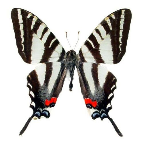 ONE REAL BUTTERFLY RED EURYTIDES MARCELLUS ZEBRA SWALLOWTAIL USA