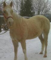 "Young Male Horse - Appaloosa: ""Maximus"""