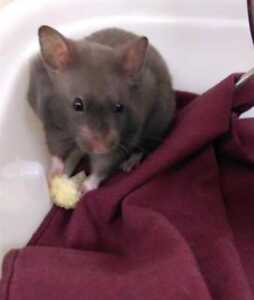 """Baby Male Small & Furry - Hamster: """"Muffin"""""""
