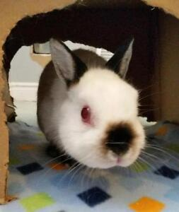 "Young Male Rabbit - Himalayan-Netherland Dwarf: ""Bunny Boy"""