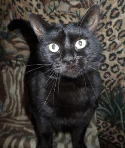 "Adult Female Cat - Domestic Short Hair: ""Regina"""