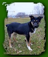 "Young Male Dog - Australian Shepherd: ""Chance"""