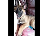 Dukee is a German Shepherd crossed with a American Akita and he is 17 weeks old and a male.