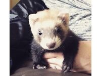 Ferrets Available