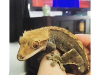 Large Male Crested Gecko