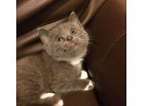 Grey boy kitten