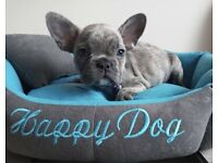 Blue French Bulldog boys for sale