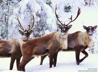 Forfait de chasse au caribou Pourvoirie Radisson Baie-James