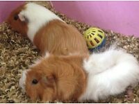 2 lovely male longhair guinea pigs with hutch