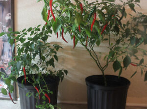 Cayenne pepper plants (Fully mature)