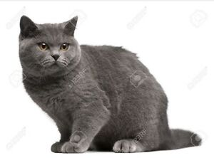 Wanted male english shorthair or munchkin to borrow