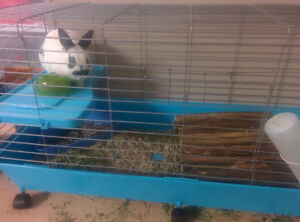 Male Polish rabbit with Cage and basics.