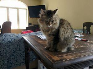Très belle chatte stérilisée, dégriffée, poil long en n'adoption