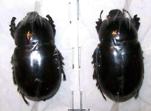 Ranzania bertolonii PAIR Taxidermy REAL unmounted Insect Beetle