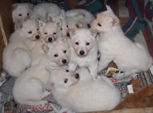 White Shepherd Puppies -Purebred-parents on site