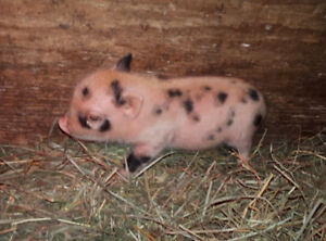Baby Micro pigs for sale