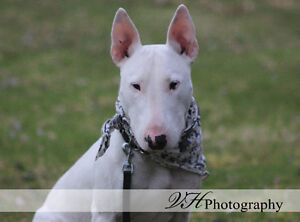 English Bull Terrier looking for his forever home!