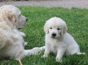 CKC Reg. English type Golden Retriever pups - males avail!