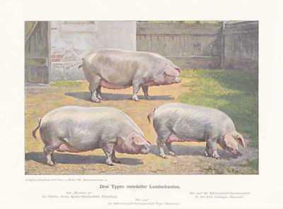 Veredelte Landschweine Schweine Farbdruck  1925 Reprint Schweinerassen