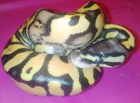2015 amazing ball pythons highest quality great prices