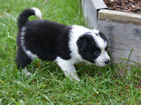 Australian Shepherd/Blue Heeler Puppies