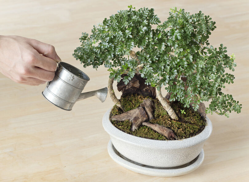The Beginner's Guide to Growing Bonsai