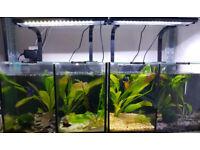 Aquaone Trio and Duo Betta Tanks + fish