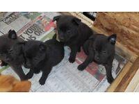 Pomchi X Puppies Last little girl left