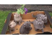 GCCF Registered British Shorthair Kittens