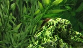 Baby Plecostomus - tropical fish - £1.50 each