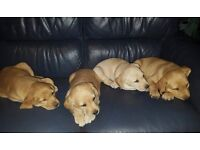 Beautiful labrador girl puppies ready now