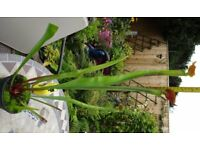 Carnivorous Plant, Sarracenia xAlata Red Lid x Flava MKH17 large, exotic pitcher plant catches flies