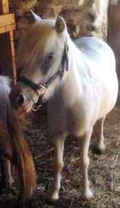 """35"""" appaloosa pony mare and her silver dapple yearling"""