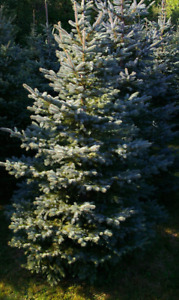 Large Colorado Spruce trees