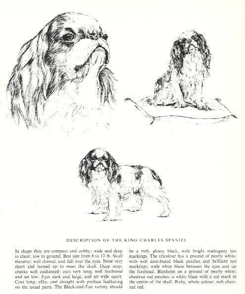 King Charles Spaniel Sketch - 1963 Vintage Dog Print - Matted