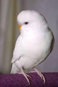 Albino or Creamino Adult Male Budgie for Breeding Salisbury East Salisbury Area Preview