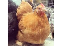 Pekin Bantams for sale - assorted colours
