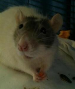 """Young Female Small & Furry - Rat: """"Salt"""""""