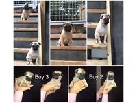 2 Beautiful male pug puppies left! Ready to go