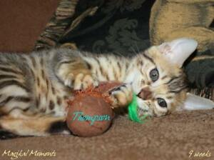 Bengal Kittens - 2 purebred boys ready mid-Dec.
