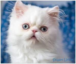 'STUART LITTLE' A VERY LOVABLE PERSIAN KITTEN