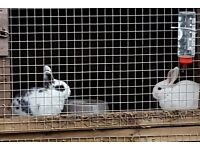 Gorgeous Rabbits FOR SALE x 2 available
