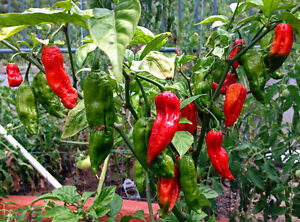 Fresh Bhut Jolokia (Ghost Pepper) + Trinidad Scorpion SOLD OUT West Island Greater Montréal image 1