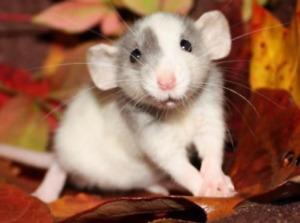 RAT BREEDER OR RESCUE