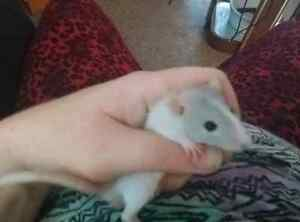 3 male ratties and 4 female available for sale!!